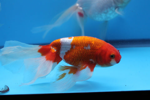Red and White Eggfish with Phoenix tail