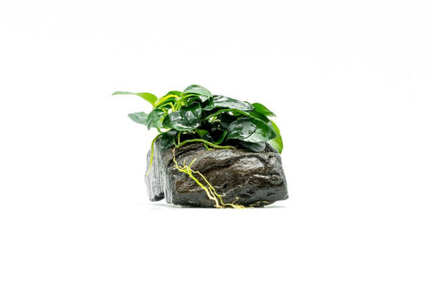products/Anubias-Petite-Wood-Detail_900x_c182424b-9762-4b74-94d8-0b6b78082c83.jpg