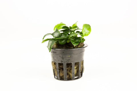 products/Anubias_Nana_Petite_Mini_Pot_4389_900x_02114dcf-8fc7-46db-81d7-8a24e380b476.jpg