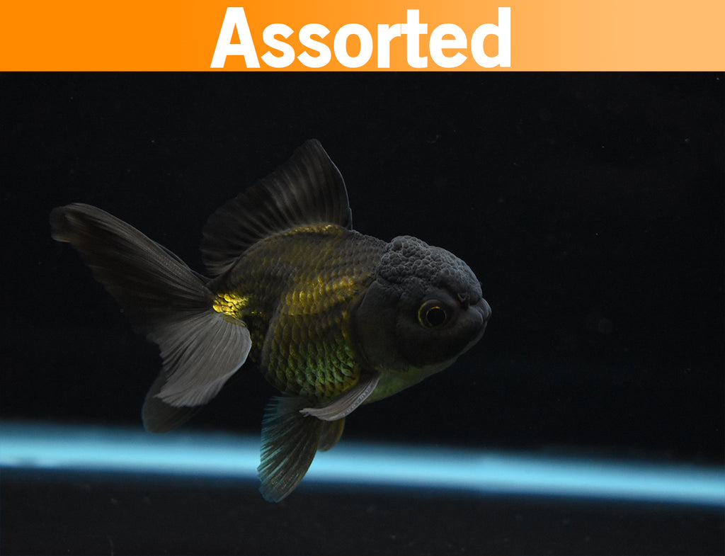 Thai Oranda Black 2.5-3 Inch (Assorted) FREE 2 DAY SHIPPING