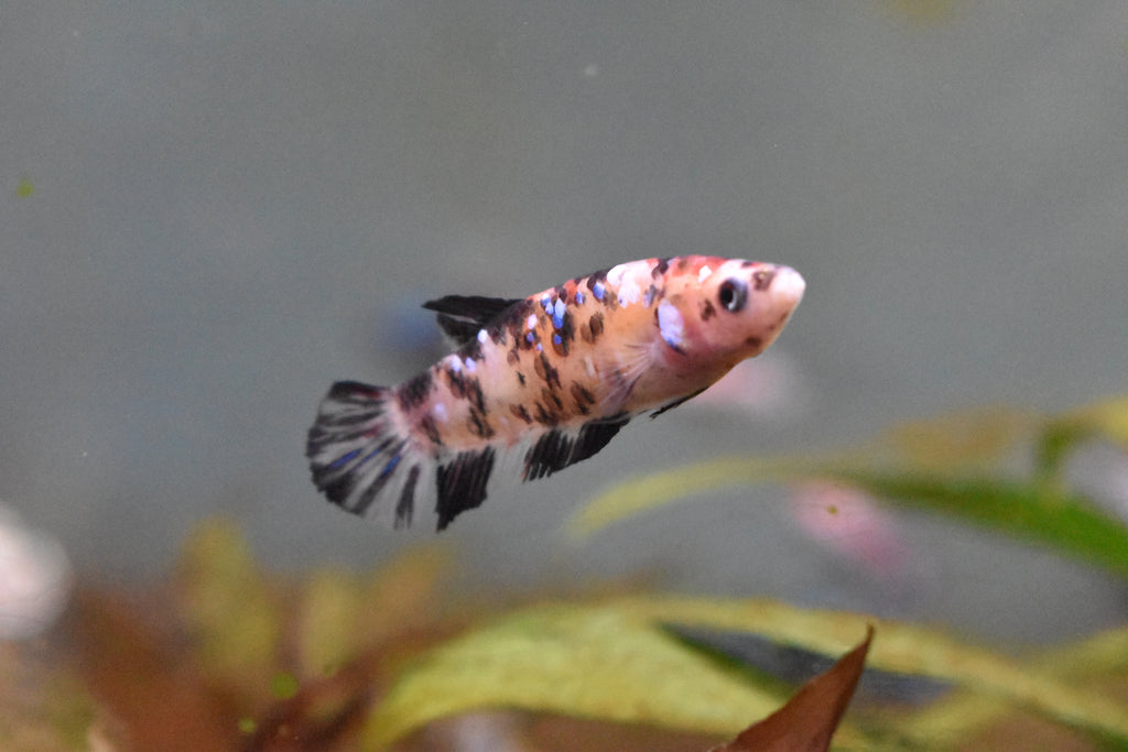 Galaxy Koi Female Betta 2 Inch (Dealer Choice)