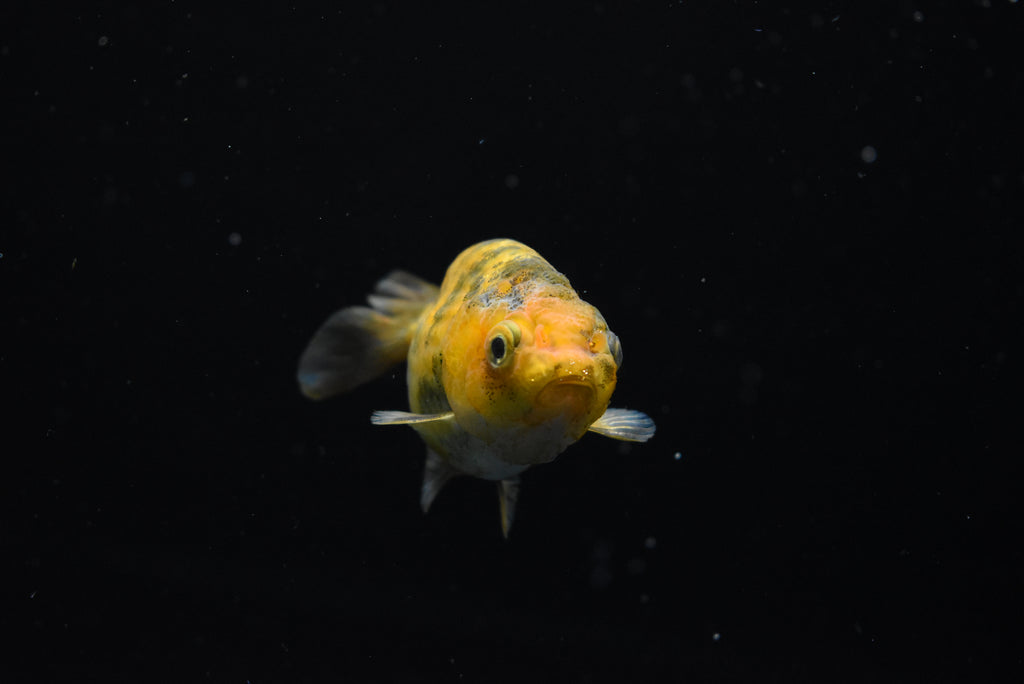 Thai Oranda   Red White 3.5 Inch (ID#1120To5a-24) FREE 2 DAY SHIPPING
