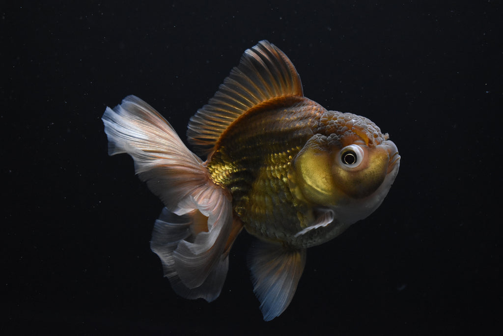 Thai Oranda   Red White 3.5 Inch (ID#1013To5a-14) FREE 2 DAY SHIPPING