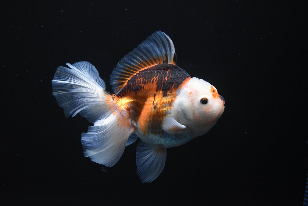 Nemo Koi Galaxy  Plakat Female Betta (ID#901-F29) FREE 2 DAY SHIPPING