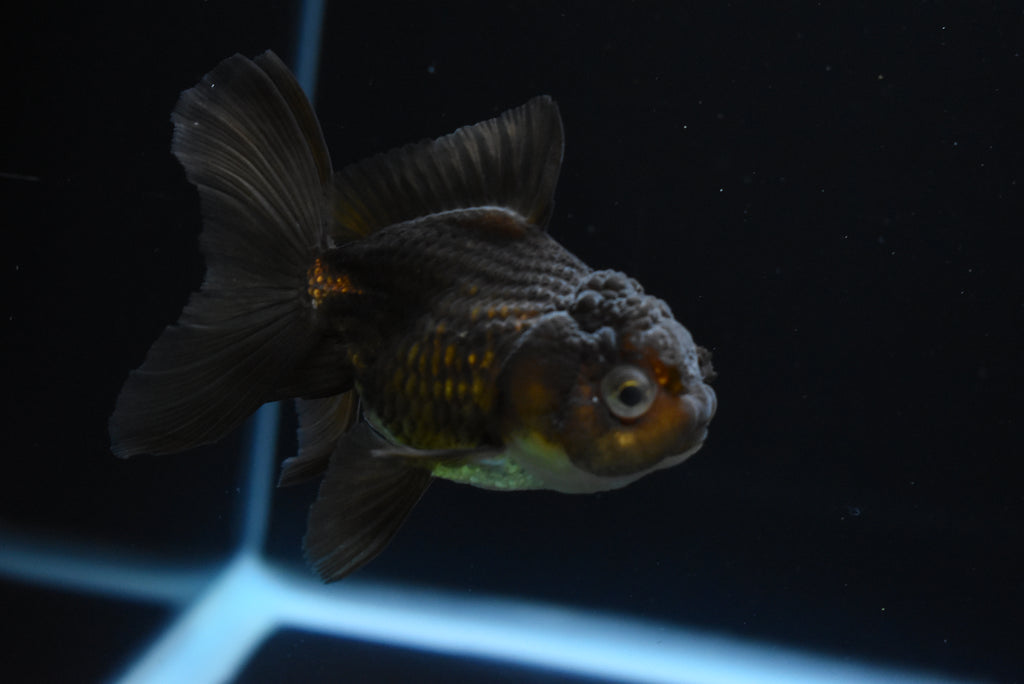 Koi Galaxy  Plakat Female Betta (ID#901-F71) FREE 2 DAY SHIPPING