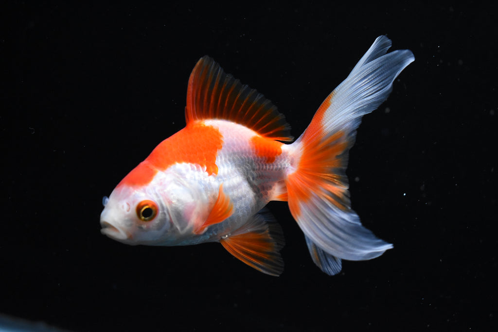Koi Galaxy  Plakat Female Betta (ID#901-F77) FREE 2 DAY SHIPPING