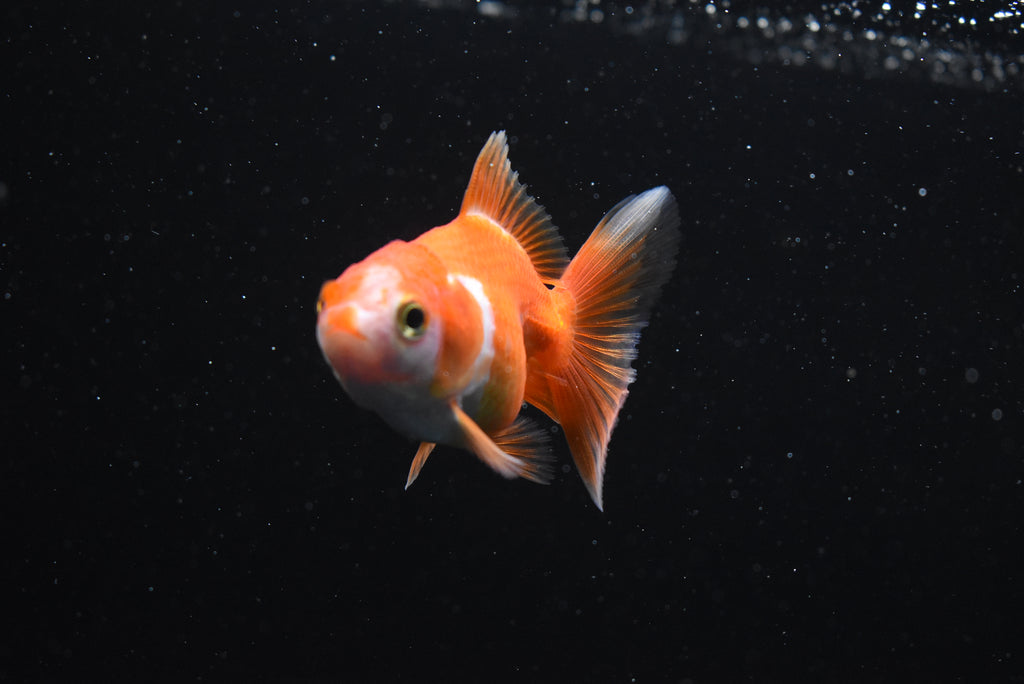 Oranda  Red White 2.5 Inch (ID#1016o10b-78) FREE 2 DAY SHIPPING