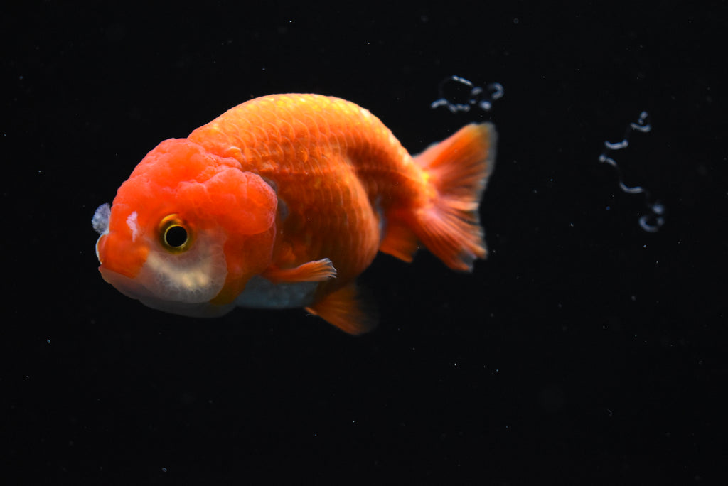 Giant Nemo Koi Galaxy  Halfmoon Female Betta (ID#901-F95) FREE 2 DAY SHIPPING