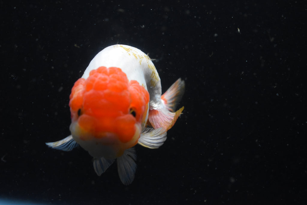 Yuan Bao Oranda Blue Base Calico 4 Inch (ID#1009Yb8b-39) FREE 2 DAY SHIPPING