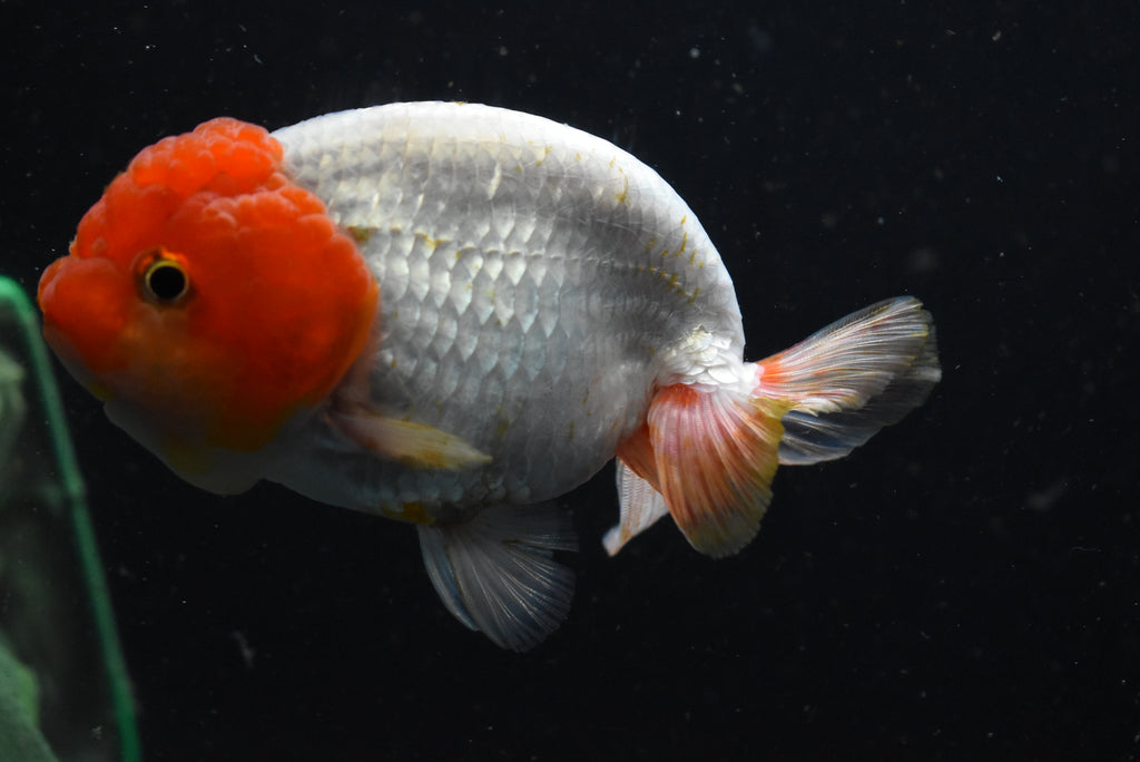 Thai Oranda   Tricolor 3 Inch (ID#922To5a-22) FREE 2 DAY SHIPPING
