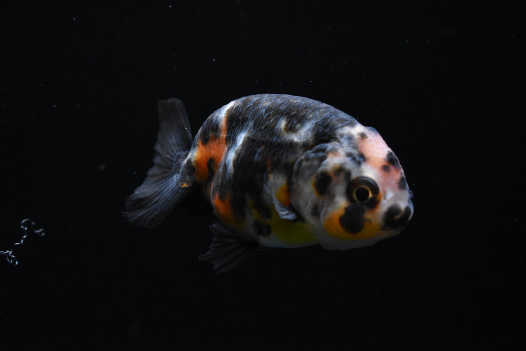Oranda  Red White 3 Inch (ID#825o10b-18) FREE 2 DAY SHIPPING