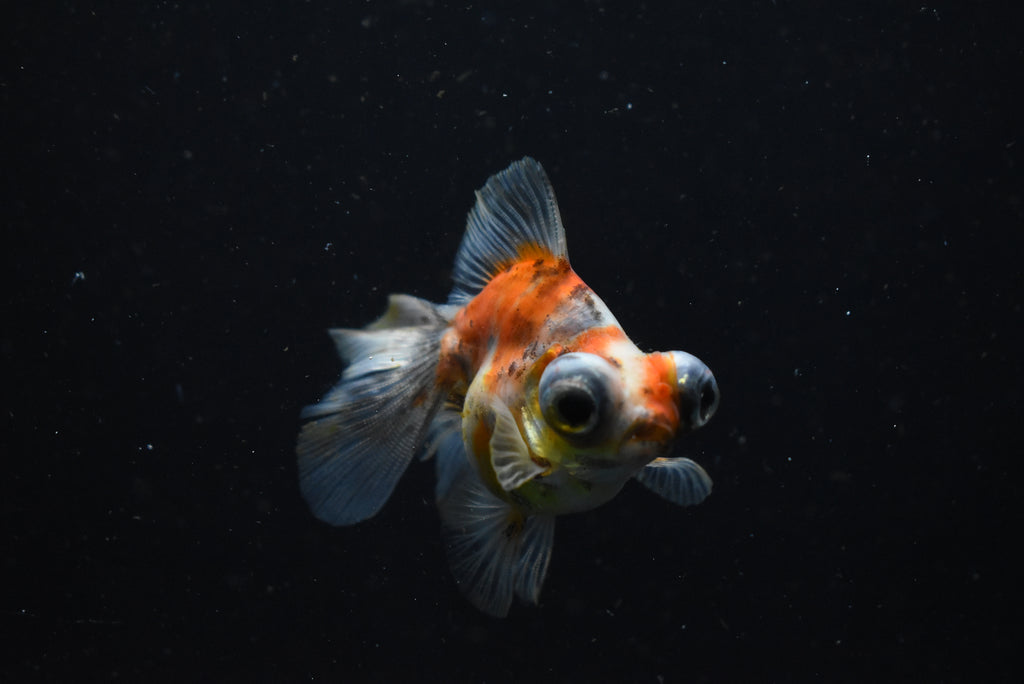 Koi Galaxy  Plakat Female Betta (ID#901-F120) FREE 2 DAY SHIPPING