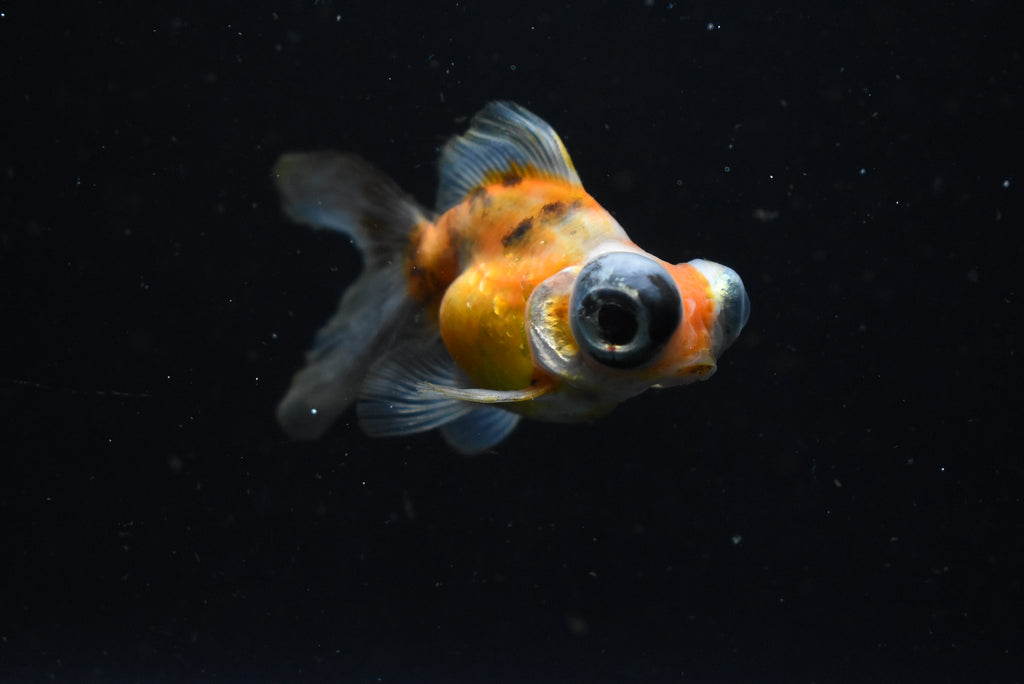 Oranda  Red White 2.5 Inch (ID#1009o10b-78) FREE 2 DAY SHIPPING