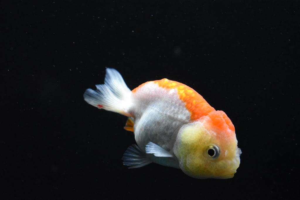 Oranda  Red White 3 Inch (ID#1013o10b-73) FREE 2 DAY SHIPPING