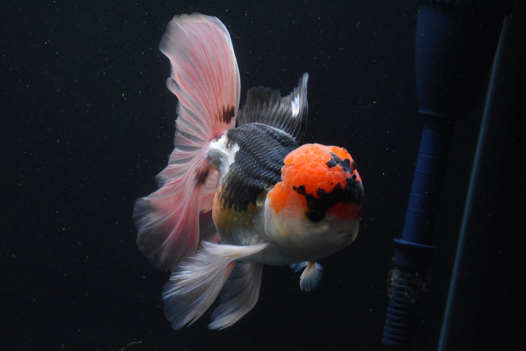 Oranda  Red White 2.5 Inch (ID#1006o10b-69) FREE 2 DAY SHIPPING