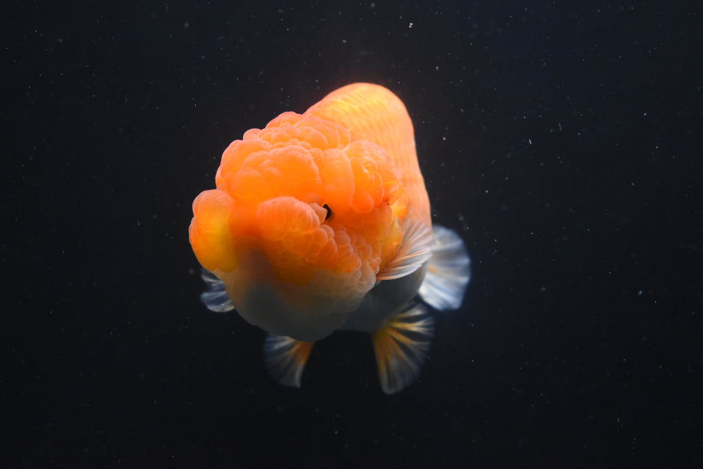 Oranda  Red 3 Inch (ID#1006o10b-73) FREE 2 DAY SHIPPING