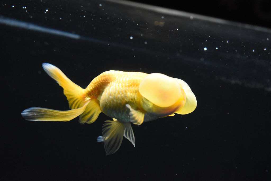 Short Tail Ranchu  Calico 4.5 Inch (ID#0128R1c-94)