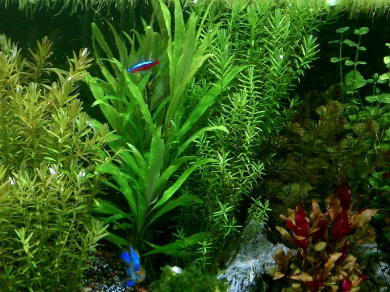 "Hygrophila Corymbosa ""Green Temple"" (Bunch)"