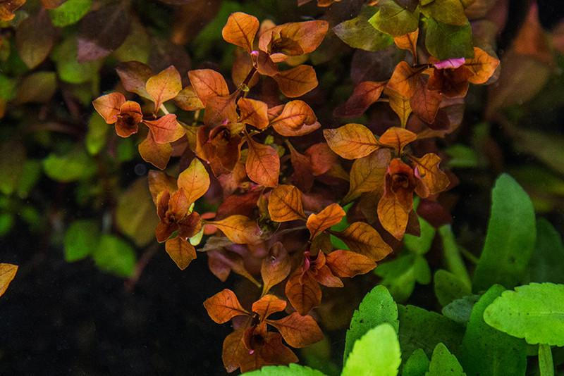 Ludwigia Natans 'Super Red'