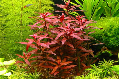 products/Ludwigia_perennis.jpg
