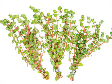 products/Rose-Red-Rotala-Macrandra-5-Small_1024x1024_5e737ef2-7aaf-41e7-88e6-690919333fec.jpg