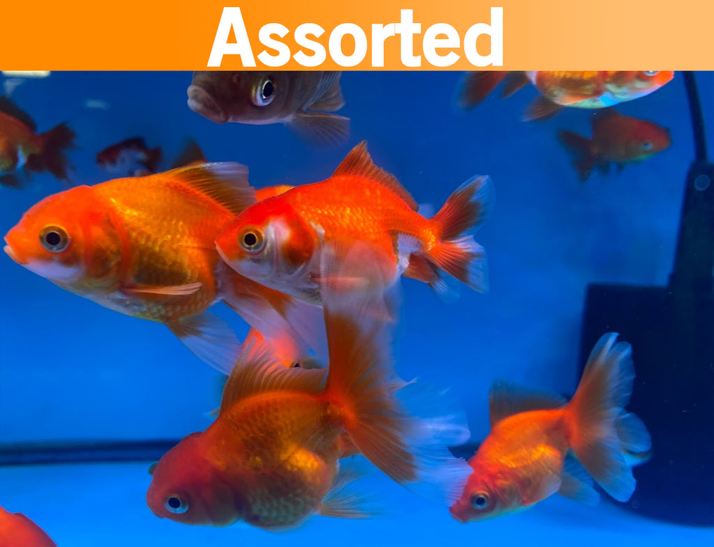 Oranda Red/Red White 2.5-3.5 Inch (Assorted) FREE 2 DAY SHIPPING