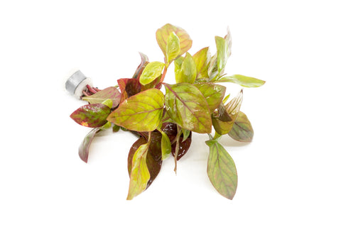 products/alternanthera-red-broad-leaf-11811167830097.jpg