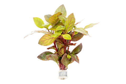 products/alternanthera-red-broad-leaf-11811168321617.jpg