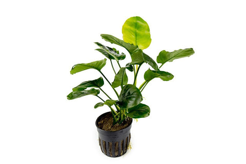 products/anubias-barteri-round-golden-coin-11709278748753.jpg