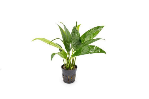 products/anubias-congensis-11743499518033.jpg