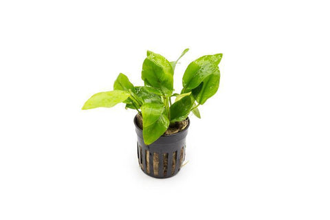 products/anubias-nana-golden-11743658508369.jpg