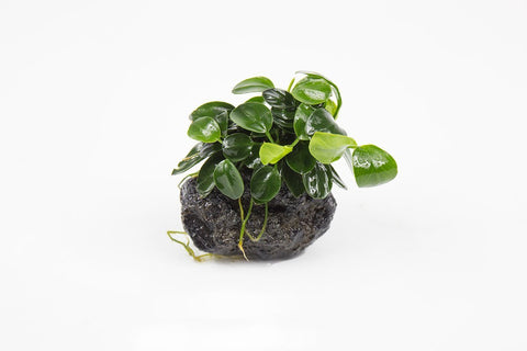 products/anubias-nana-petite-on-lava-stone-11711124242513.jpg