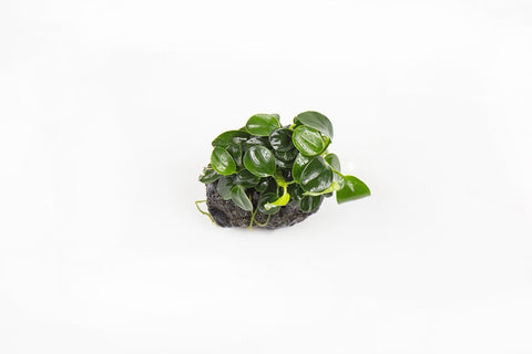 products/anubias-nana-petite-on-lava-stone-11711125160017.jpg