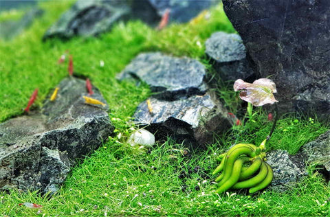 products/aquarium_banana_plant_3.jpg