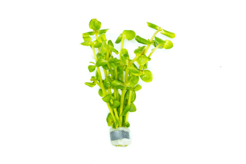 products/bacopa-araguaia-11811713089617.jpg