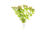 Bacopa Caroliniana Red (Lead Bunch)