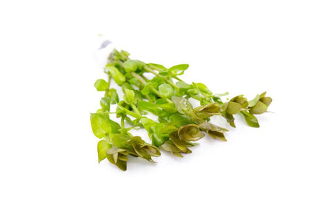 products/bacopa_species_red_7407_900x_7764a61b-5dc4-4405-8a77-cf0ea3616641.jpg