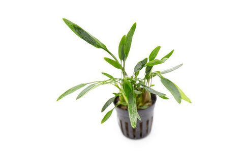 products/cryptocoryne-lucens-11719705329745.jpg