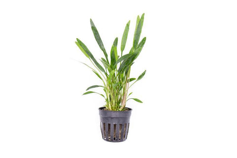 products/cryptocoryne-lucens-11719708475473.jpg
