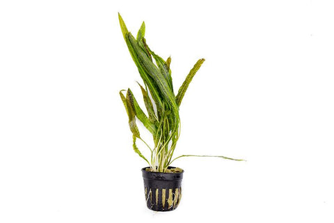 products/cryptocoryne_balansae_POT_6061_900x_1f23ff59-1be1-49d3-a533-d5de09fe51c0.jpg