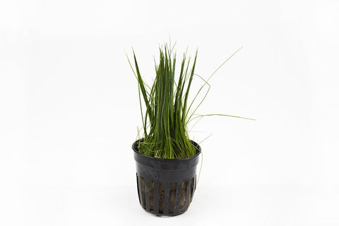 products/dwarf-hair-grass-11720129282129.jpg