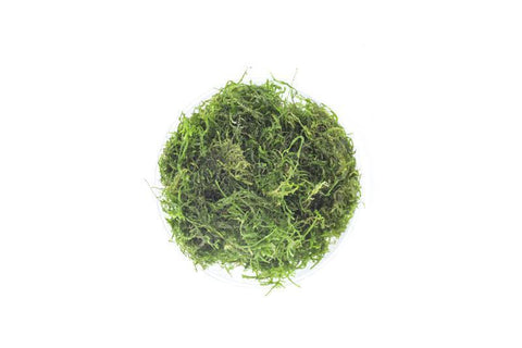 products/flame-moss-11709897572433.jpg