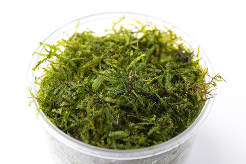 products/java-moss-11727071346769.jpg