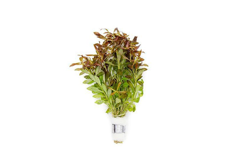 products/ludwigia-arcuata-11727037628497.jpg