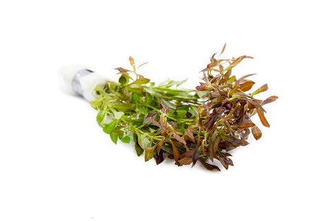 products/ludwigia-arcuata-11727037661265.jpg