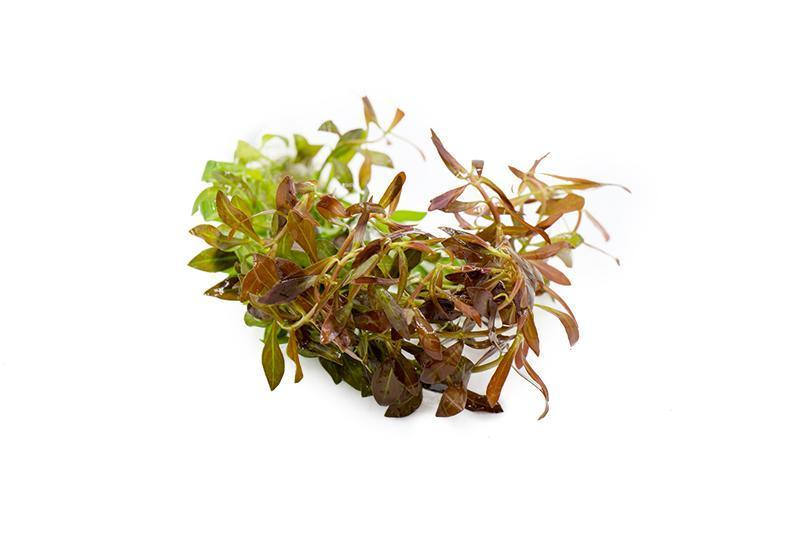 Ludwigia Arcuata (Lead Bunch)