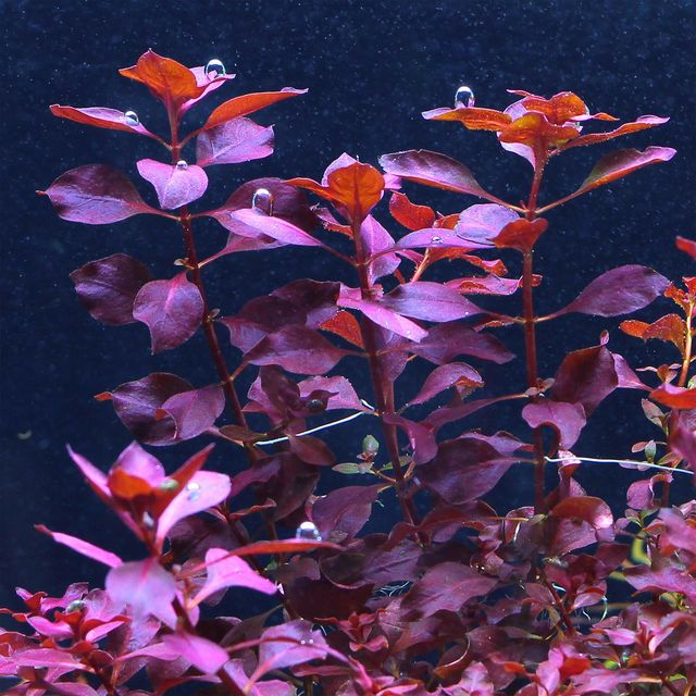 Ludwigia Palustris 'Super Red Mini' (Lead Bunch)