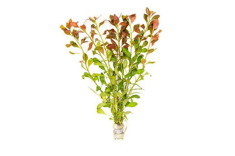 products/ludwigia-repens-11742506352721.jpg
