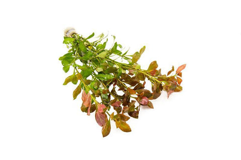 products/ludwigia-repens-11742506483793.jpg