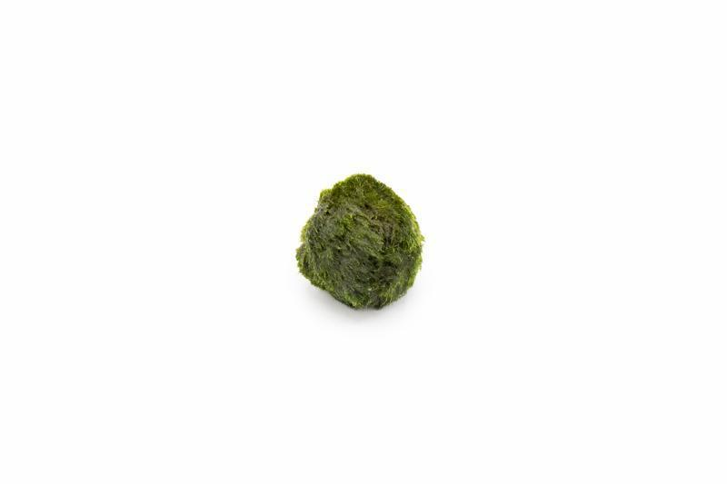 Marimo Ball  - Small